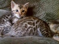 Classy Bengals has a Beautiful TICA Registered litter
