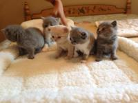 Stunning British Shorthair kittycats for sale.