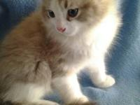 We have Gorgeous Ragdoll kittens born Sept 25,