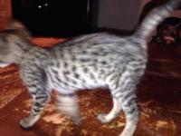 Have male and female F4 Savannah Kittens available.