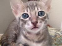 I have two female F5sbt Savannah kittens left from my