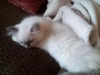 We have a TICA registered ragdoll lady offered for