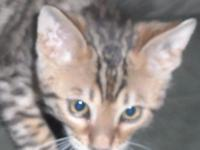 TICA Registered bengal kitten ready for new homes very
