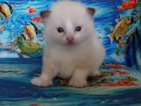 This little beauty is 3 weeks old. She is seal bicolor