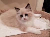 Fluffy, soft, and sweet- I have a purebred Ragdoll