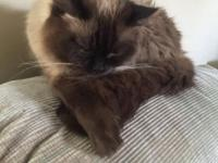 Female adult Ragdoll seal point. She is six and very