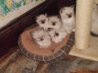 I have 6 beautiful Ragdolls Kittens, 5 are Seal