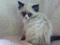 Purebred Ragdoll kittens, born March 17th, 3 boys, 1
