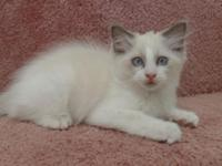 I have two beautiful male, Blue Bi-color, Ragdoll