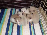 Ragdoll kittens for sale from a line of Grand