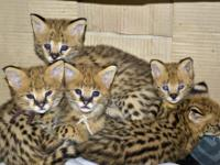 TICA Registered Savannah and Serval Kittens, home