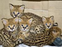 TICA Registered Savannah kittens, caracal lynx, ocelot