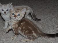 We have Three Amazing TICA Registered Bengal Boys They