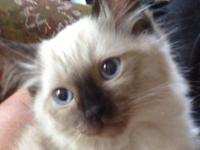 Awesome registered seal point Ragdoll kitten - male -