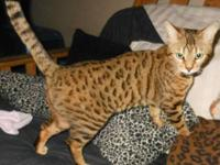 ADORABLE BENGAL KITTENS!! Purebreed bengals add a