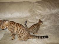 Beautiful and amazing TICA papered Bengal kittens are