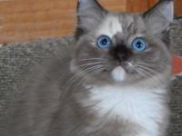 Two beautiful TICA registered Ragdoll kittens ready for