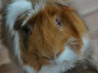 Meet Tico, a sweet 11 month old long haired guinea pig!