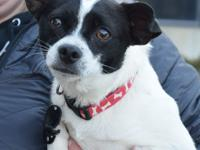 Tide is an adult male Rat Terrier/Chihuahua mix whose