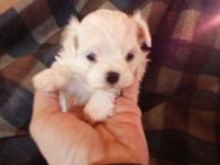 Mommy Tiffany is a AKC 6 pound Maltese & & Father