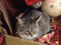 Tiger 2 is a sweet, mellow fellow!!  He is FIV positive