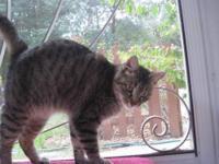 Tiger - Anastasia - Medium - Adult - Female - Cat She