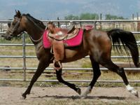 Tiger is a small 11-12 year old Arabian gelding who