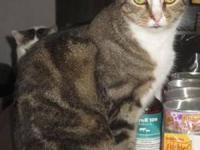 Tiger - Buddy - Large - Young - Male - Cat Young Tabby