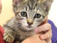 Tiger - Cecelia - Medium - Baby - Female - Cat She's