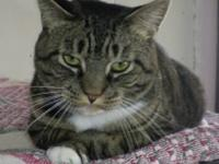 Tiger - Charlie - Large - Adult - Male - Cat Charlie is