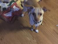 Tiger is a 2 yo male Chihuahua mix. He's very friendly