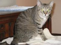 Tiger - Cody - Medium - Young - Male - Cat Cody is a