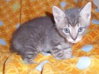 Tiger - Danny - Medium - Baby - Male - Cat Danny is a