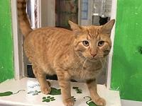 Tiger's story Sweet, Handsome, Young DSH Orange/Red