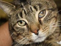 Tiger - George - Medium - Adult - Male - Cat