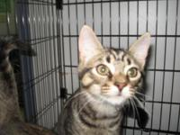 Tiger - John Boy - Medium - Young - Male - Cat My name