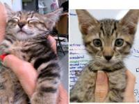 Tiger - Josie & Tarzan - Medium - Baby - Female - Cat