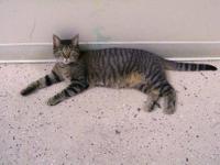 Tiger - Juliette - Small - Adult - Female - Cat Born