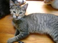 Tiger - Kitten - Medium - Baby - Male - Cat Stop by our
