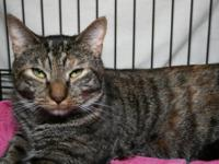 Tiger - Kittens - Medium - Baby - Female - Cat Adoption