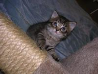 Tiger - Kittens - Medium - Baby - Male - Cat Stop by