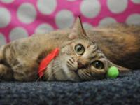 Tiger - Lele - Medium - Adult - Female - Cat Lele is a