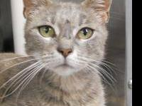 Tiger - Lexi - Medium - Adult - Female - Cat Loving
