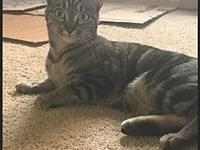 Tiger Lily's story Tiger Lily is a Domestic Tabby who