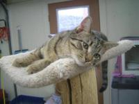 Tiger - Marcel - Large - Young - Male - Cat Marcel is