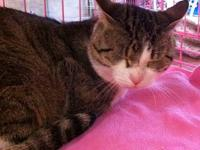 Tiger - Miss Meow - Medium - Young - Female - Cat This