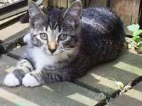 Tiger - Missy - Medium - Adult - Female - Cat Missy is