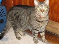 Tiger - Misty - Medium - Adult - Female - Cat laid back