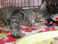 Tiger - Oz - Medium - Young - Male - Cat This handsome