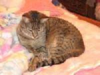 Tiger - Promise - Medium - Adult - Female - Cat I am